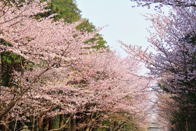 北海道 札幌でお花見なら!超定番の北海道神宮のご紹介