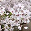 五稜郭公園で令和最初の桜を見に行ってきました。